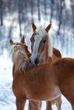 Cavalos afectuosos Foto de Stock Royalty Free
