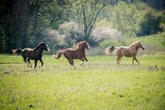Cavalos americanos da pintura que correm no prado verde foto de stock royalty free