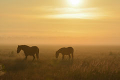 Cavalos através de um campo nevoento Imagem de Stock Royalty Free