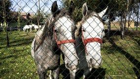 Cavalos atrás da cerca Fotografia de Stock