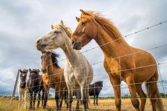Cavalos atrás da cerca Imagem de Stock