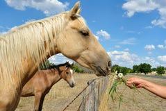 Cavalos australianos fotos de stock