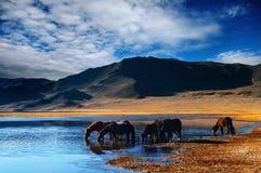 Cavalos bebendo Foto de Stock