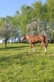Cavalos bonitos Fotografia de Stock