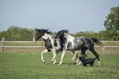 Cavalos bonitos do pinto no galope com cão Foto de Stock Royalty Free