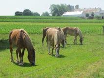 Cavalos bonitos do trabalho para os Amish em Pensilvânia foto de stock royalty free