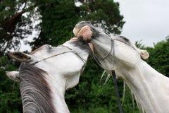 Cavalos bonitos no amor fotos de stock royalty free