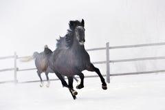 Cavalos bonitos que correm no inverno Imagens de Stock