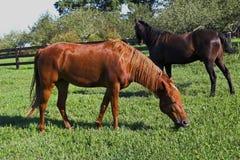 Cavalos bonitos que pastam   Imagens de Stock