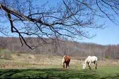 Cavalos bonitos que pastam Fotografia de Stock