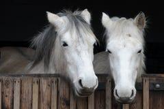 Cavalos brancos Fotografia de Stock
