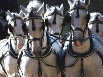 Cavalos brancos Imagens de Stock Royalty Free