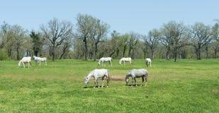 Cavalos brancos Imagens de Stock