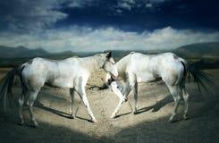 Cavalos brancos bonitos Imagens de Stock