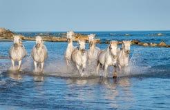 Cavalos brancos de Camargue que correm na água Imagem de Stock Royalty Free