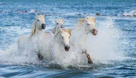 Cavalos brancos de Camargue que galopam na água azul Imagem de Stock