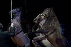 Cavalos brancos do circo desenfreado Imagens de Stock Royalty Free