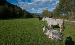 Cavalos brancos em um campo verde Fotos de Stock Royalty Free