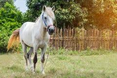 Cavalos brancos no campo verde no jardim, natureza Foto de Stock Royalty Free