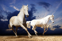 Cavalos brancos running Imagens de Stock