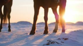 Cavalos com cavaleiros e o inverno no por do sol, close-up Cavalo bonito com um cavaleiro no inverno, movimento lento disparar vídeos de arquivo
