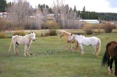 Cavalos com os passageiros incomuns em Florissant, Colorado foto de stock royalty free
