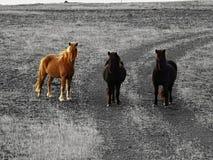Cavalos curiosos de Islândia Fotografia de Stock