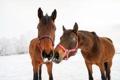 Cavalos curiosos no prado nevado Fotografia de Stock Royalty Free
