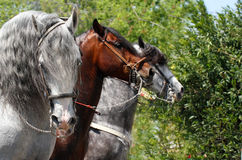 Cavalos da parada Imagens de Stock
