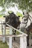 Cavalos de Amish amarrados a um cargo engatando imagem de stock royalty free