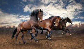 Cavalos de baía selvagens do salto Imagens de Stock