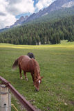 Cavalos de Brown que pastam em terras de pastagem: Cumes italianos das dolomites Fotos de Stock Royalty Free