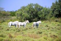 Cavalos de Camargue Foto de Stock