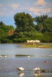 Cavalos de Camargue Imagens de Stock