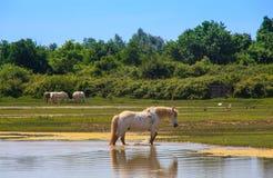 Cavalos de Camargue Fotografia de Stock
