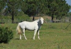 Cavalos de Camargue, França Foto de Stock