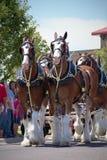 Cavalos de Clydesdale que puxam o vagão de Budwiser Fotografia de Stock