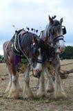 Cavalos de condado Imagem de Stock