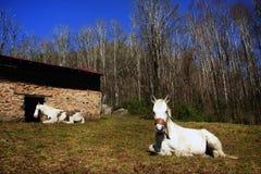 Cavalos de descanso fotografia de stock royalty free