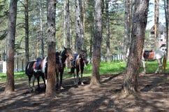 Cavalos de equitação amarrados fotos de stock royalty free