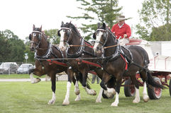Cavalos de esboço na feira agricultural Fotos de Stock