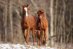 Cavalos de Georgeous em um pasto Imagens de Stock