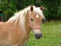 Cavalos de Harflinger fotos de stock royalty free