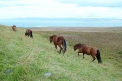 Cavalos de Islândia imagem de stock royalty free