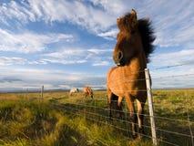 Cavalos de Islândia Foto de Stock Royalty Free