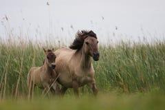 Cavalos de Konik Imagens de Stock