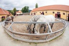 Cavalos de Lipizzaner Fotografia de Stock Royalty Free