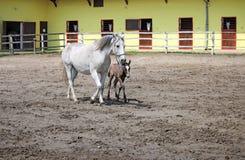 Cavalos de Lipizzaner Fotos de Stock Royalty Free