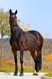 Cavalos de louro exteriores imagens de stock
