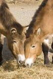 Cavalos de Przewalski Fotografia de Stock